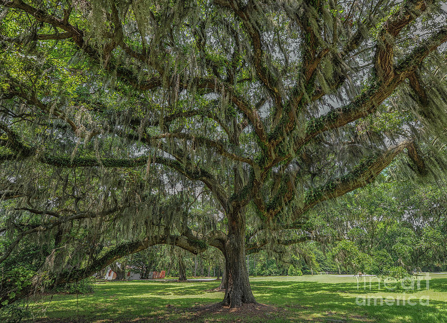 Southern Magic Live Oak Tree Dripping With Spanish Moss Photograph