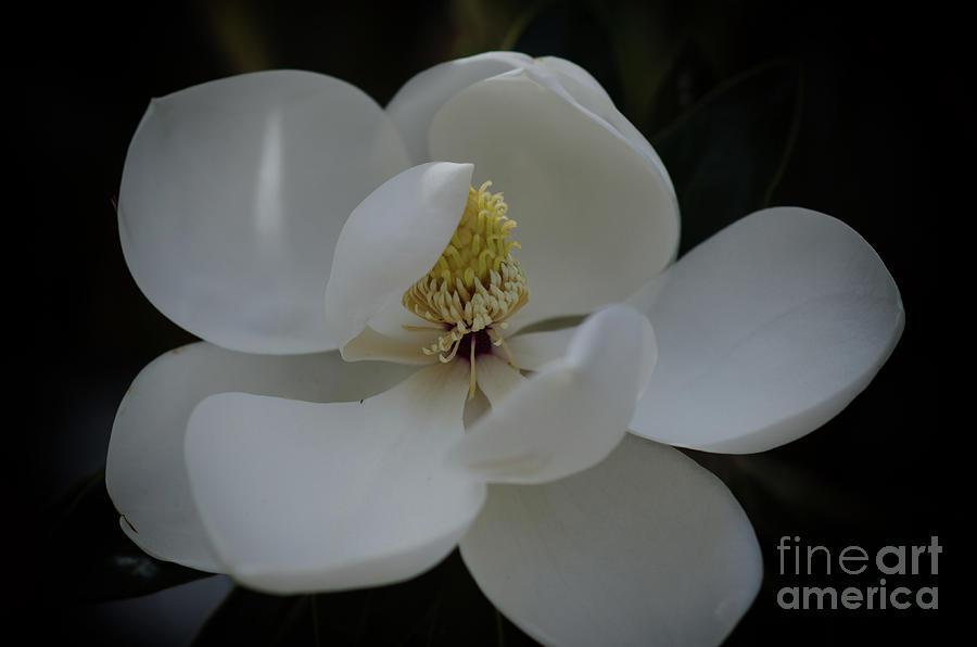 Southern Magnolia Blossom Soft Petals Photograph