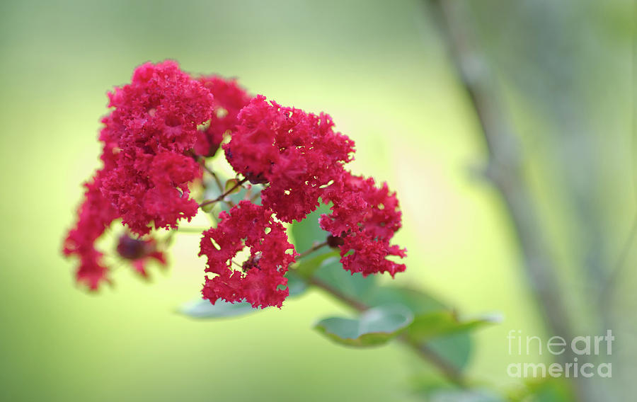 Southern Summer Crepe Myrtle Blooming Photograph