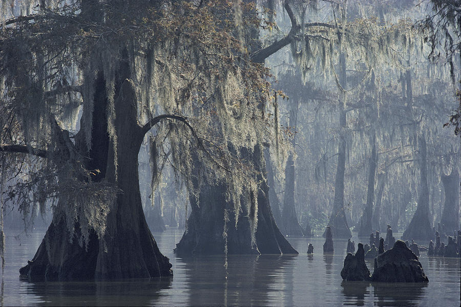 Spanish Moss Drapes Old Cypress Trees Photograph