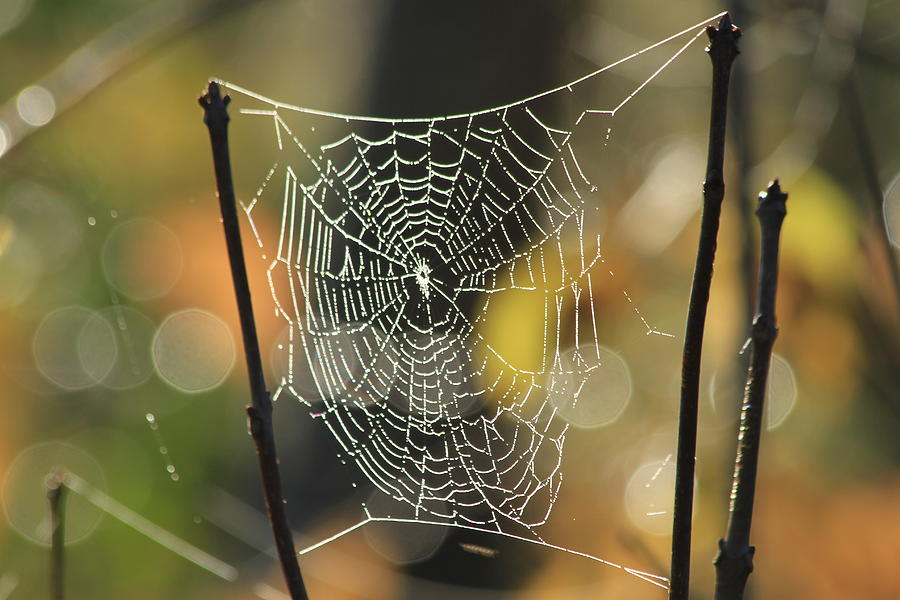 Spider Photograph - Spiders Creation by Karol Livote