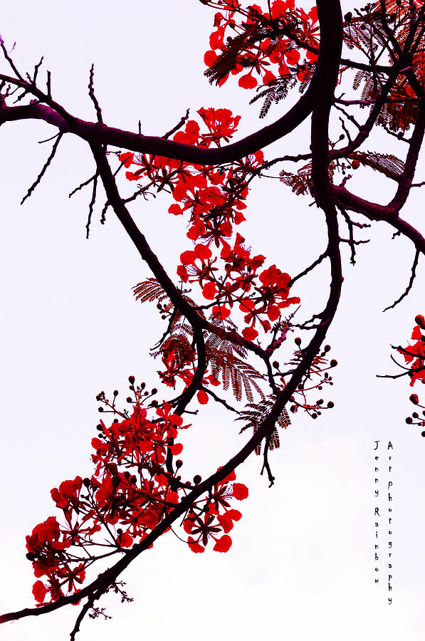 Spring Photograph - Spring Bloosom In Maldives. Flamboyant Tree by Jenny Rainbow