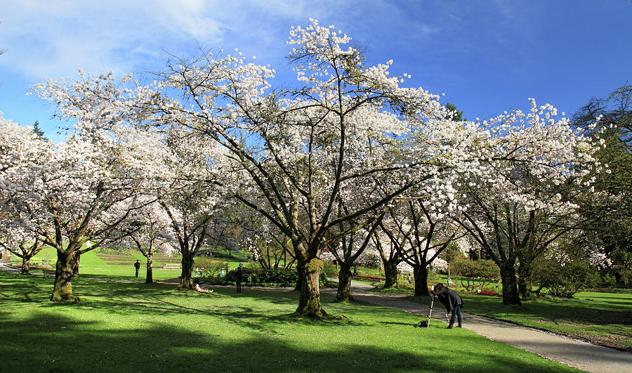 Spring Cherry Blossoms In Stanley Park Vancouver Photograph