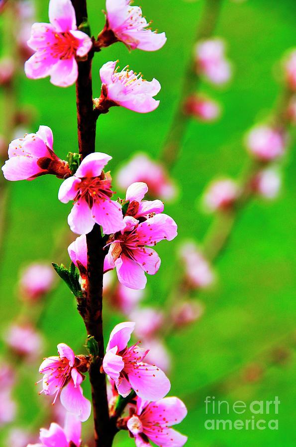 Peach Tree Blossoms Photograph - Spring Color by Thomas R Fletcher