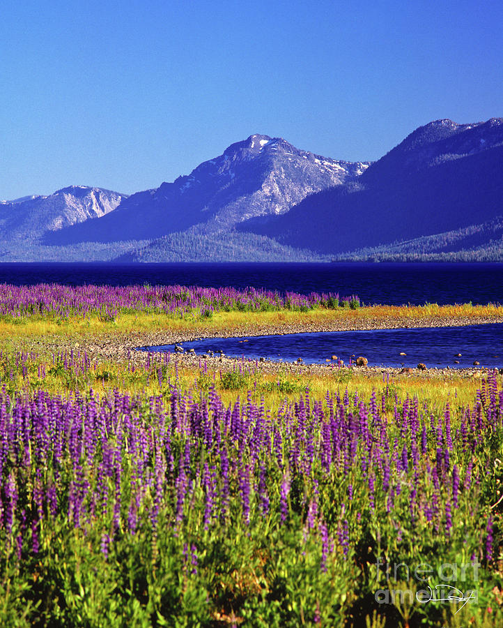 Fine Art Photography Photograph - Spring Flowers Lake Tahoe by Vance Fox