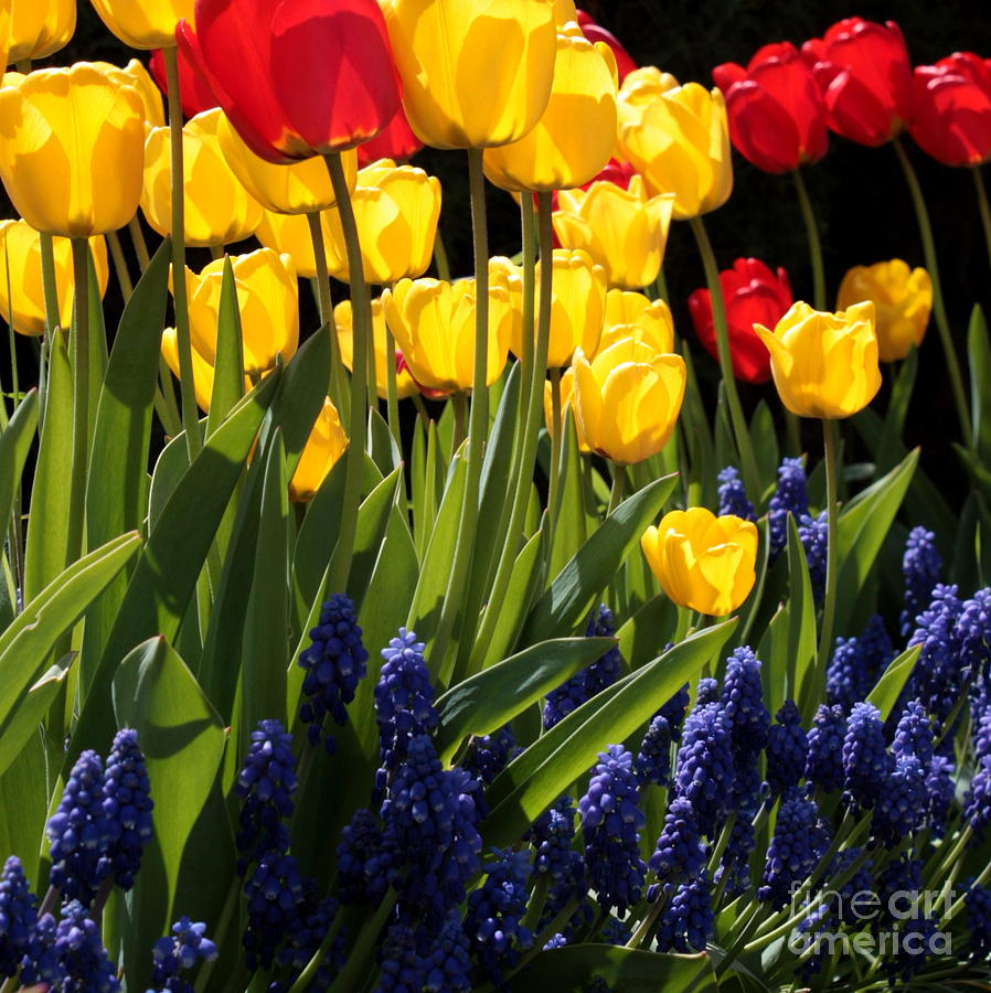 Spring Photograph - Spring Flowers Square by Carol Groenen