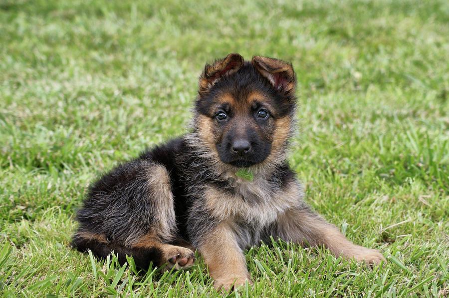 Black & Tan Puppy Photograph - Spring Puppy by Sandy Keeton
