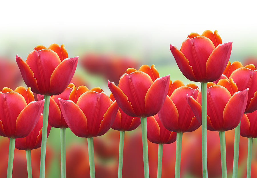 Tulips in spring beautiful spring tulips flower double tulip spring fabulous tulips in spring with tulips in spring mightylinksfo Image collections