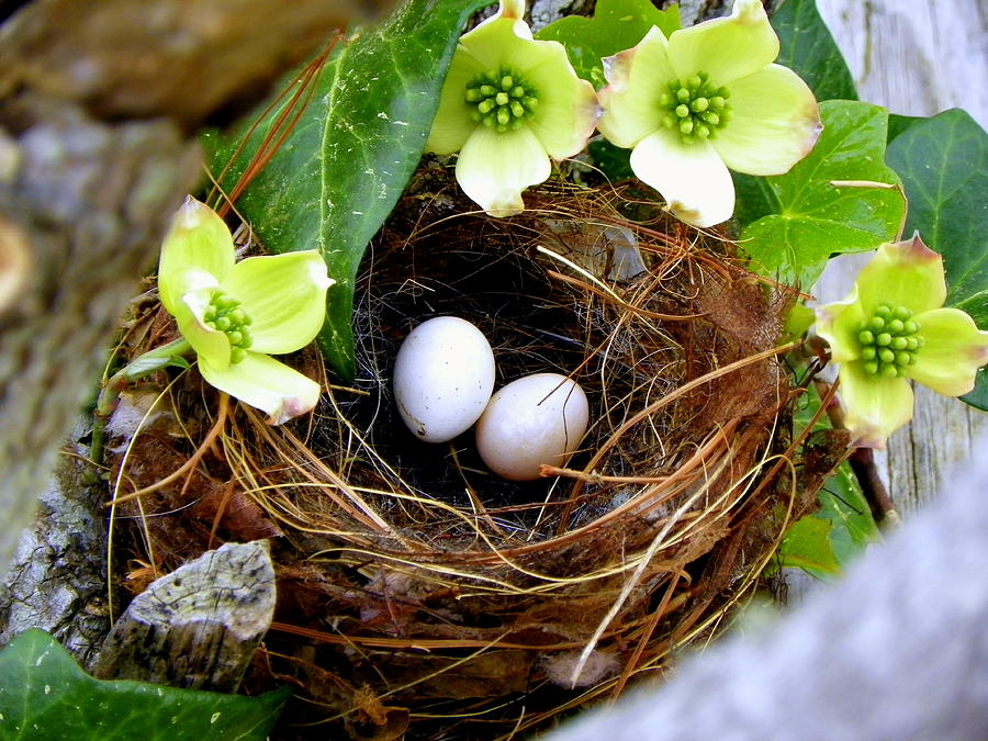 Bird Nest Photograph - Springtime by Karen Wiles