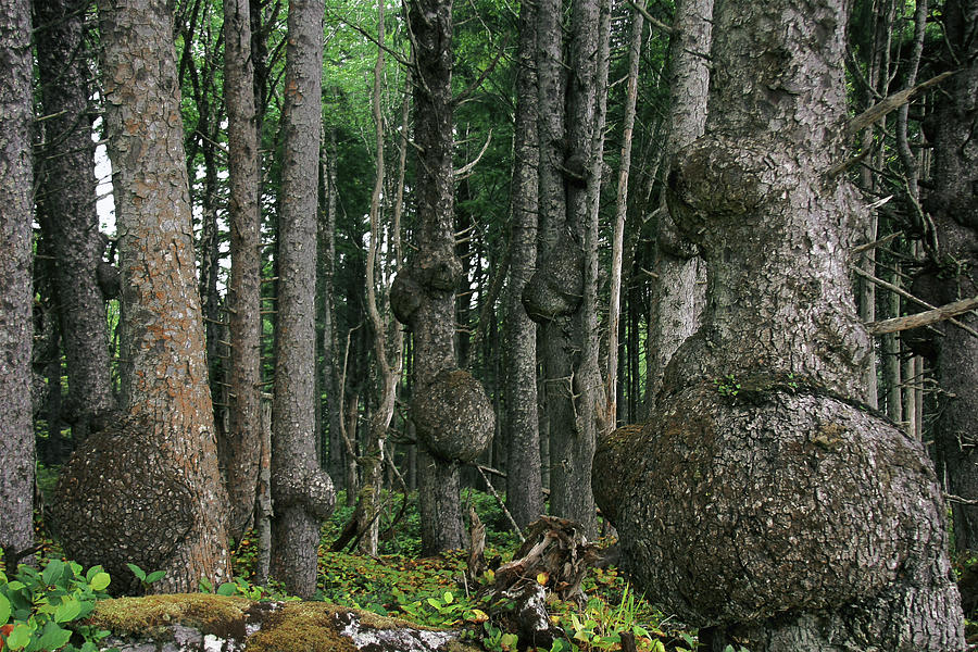 Spruce Burls Olympic National Park Wa Photograph