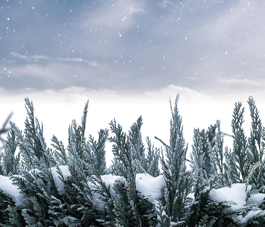 Spruce Photograph - Spruce In Snow by Wim Lanclus