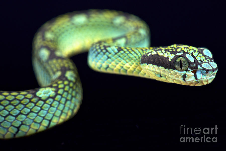 Sri Lankan Pit Viper Photograph By Reptiles4all