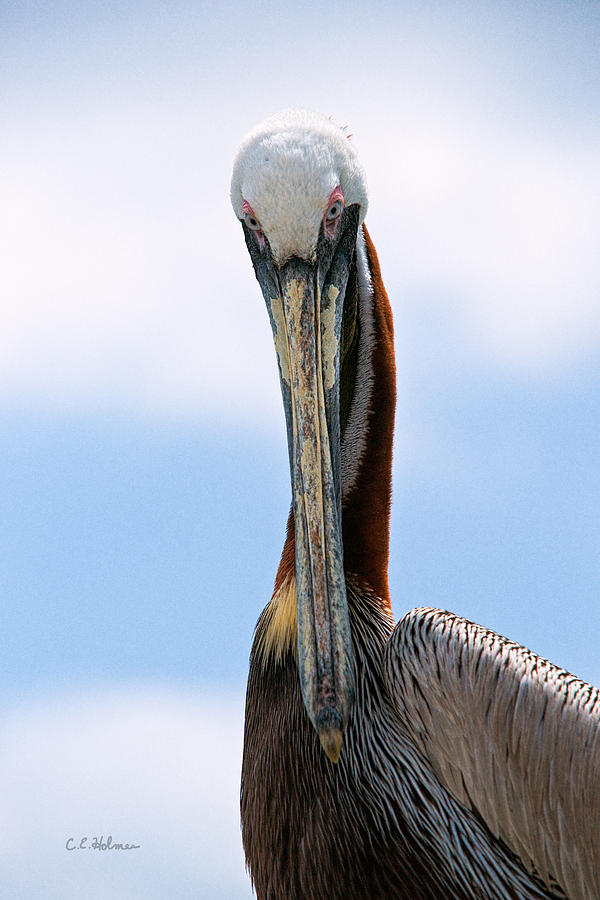 Pelican Photograph - Stare Down by Christopher Holmes