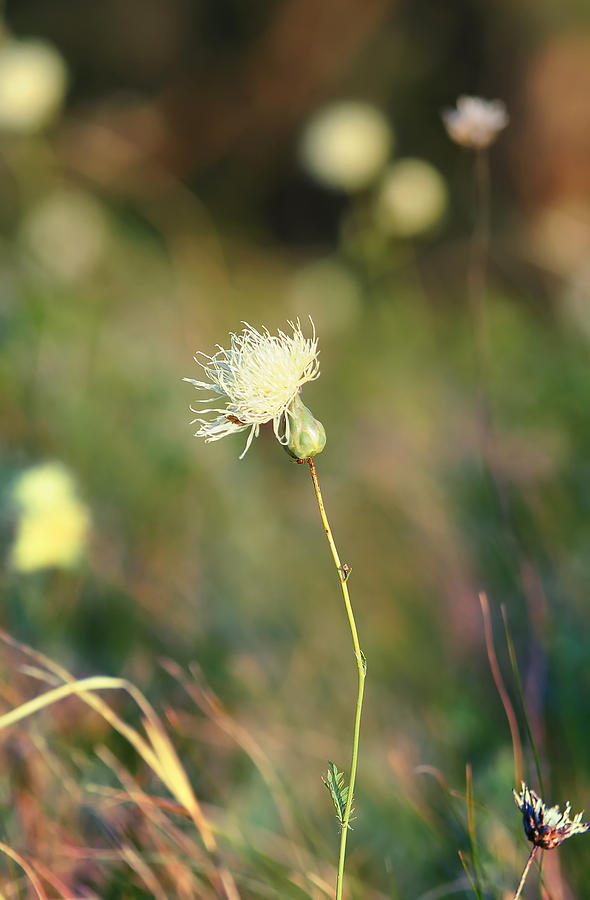 Steppe Flower In Russian National Park Photograph