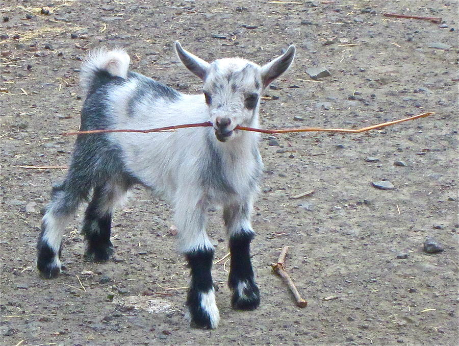 Goat Photographs Photograph - Sticky Business by Gwyn Newcombe