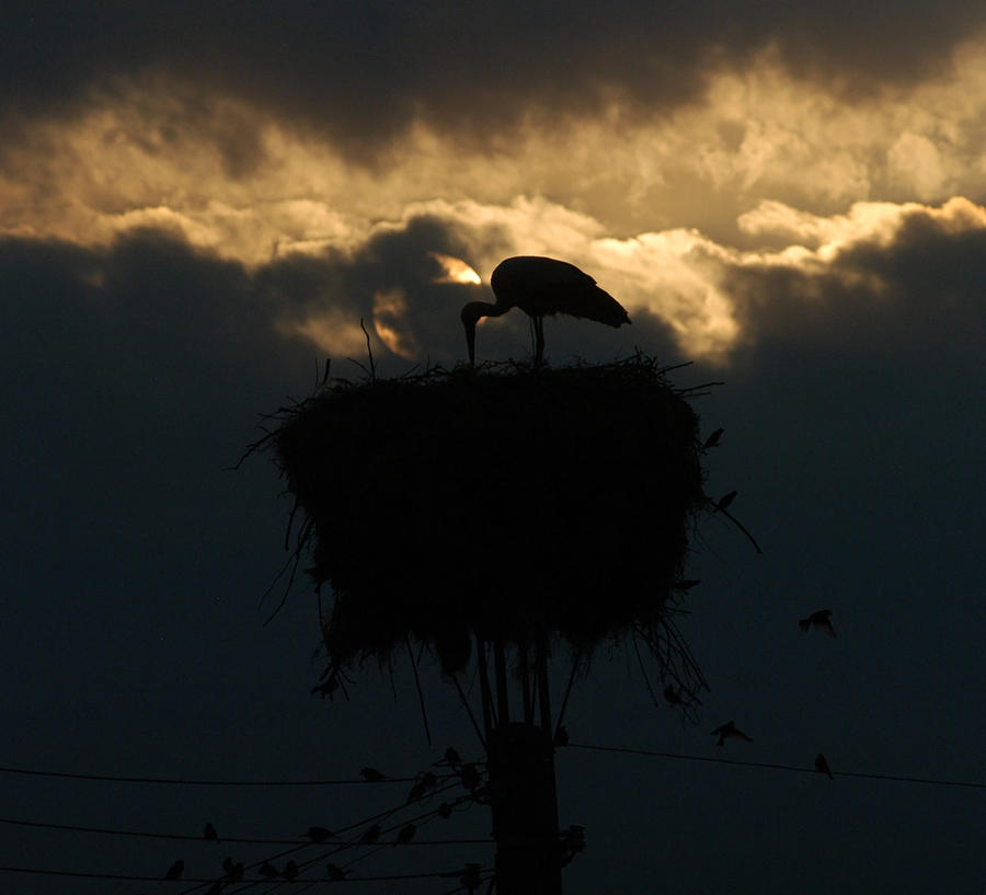 stork with evening sun light is a photograph by cliff norton which was. Black Bedroom Furniture Sets. Home Design Ideas