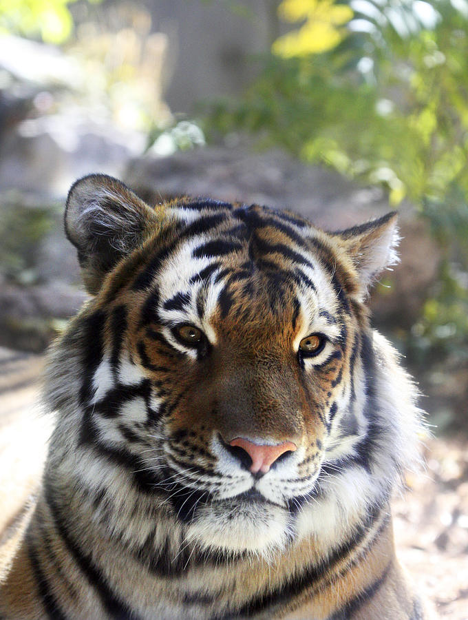 Animal Photograph - Striped Beauty by Marilyn Hunt