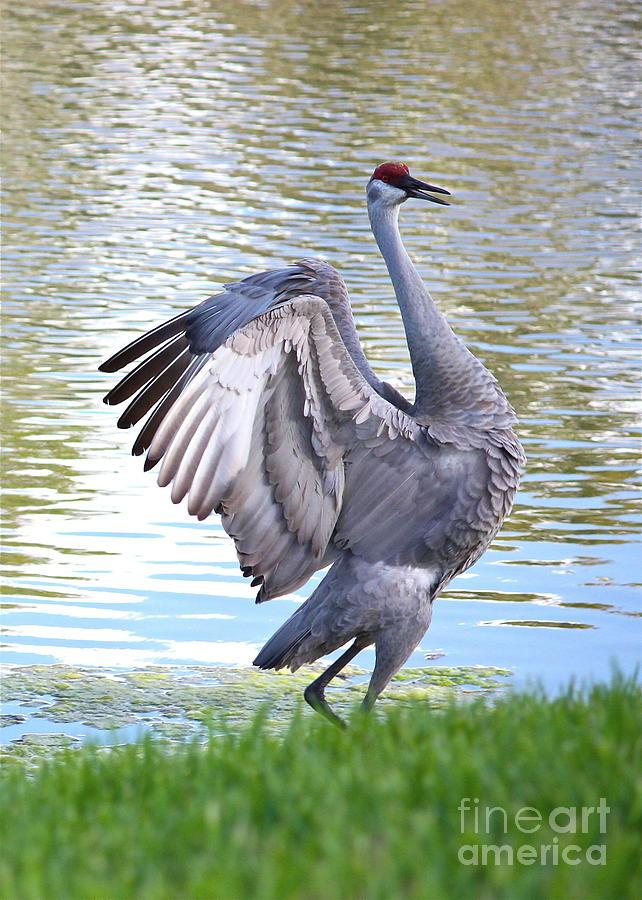 Sandhill Crane Photograph - Strutting Sandhill Crane by Carol Groenen