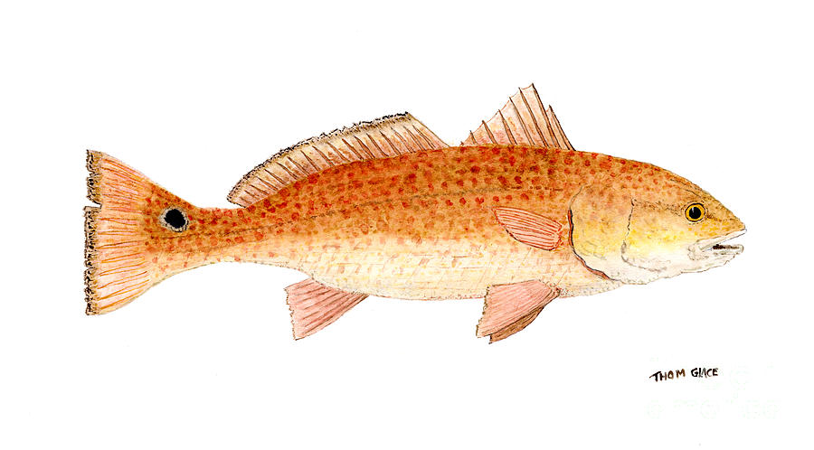 Saltwater Painting - Study Of A Redfish  by Thom Glace