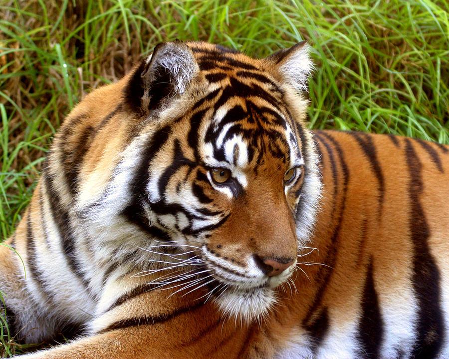 Tiger Photograph - Sumatran Tiger by Tony Brown
