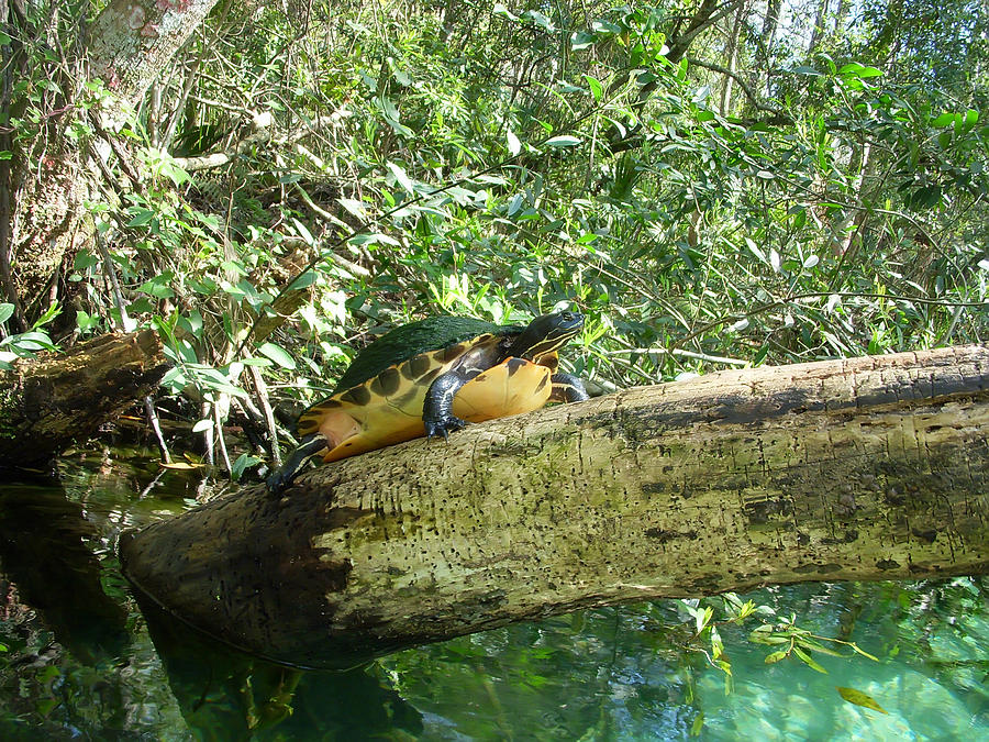 Turtle Photograph - Sunbathing Turtle by Aimee L Maher Photography and ...