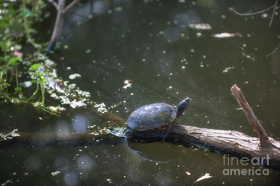 Sunbathing Turtle Photograph