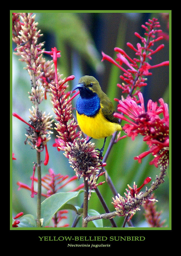 Animals Photograph - Sunbird by Holly Kempe