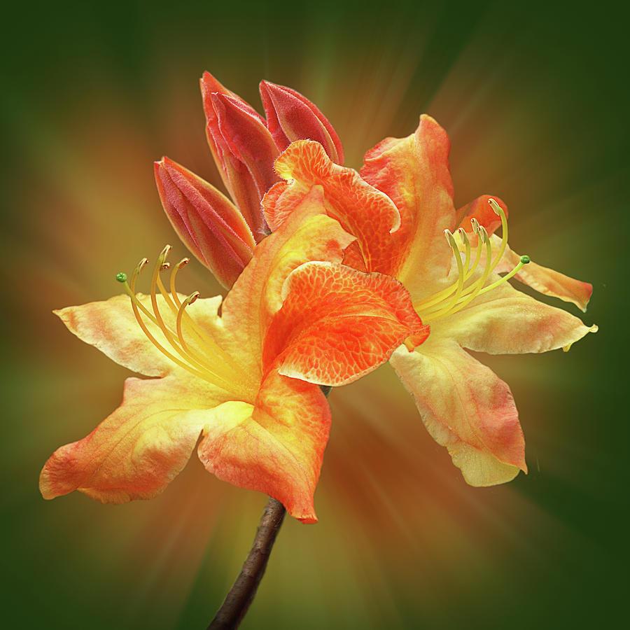 Azalea Photograph - Sunburst Orange Azalea by Gill Billington