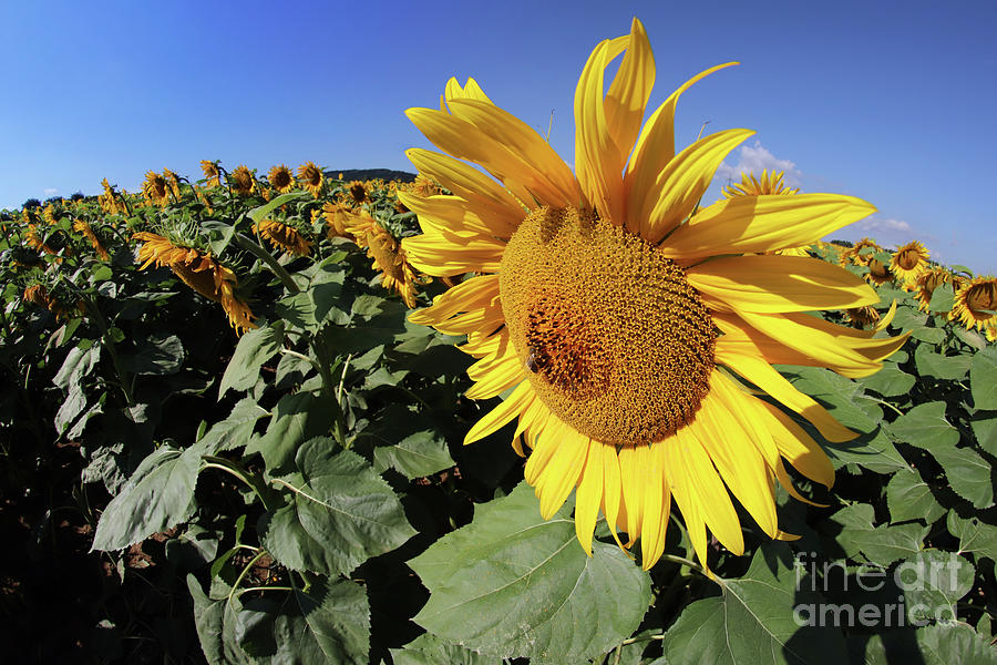 Sunflower Bloom With Honey Bee Photograph