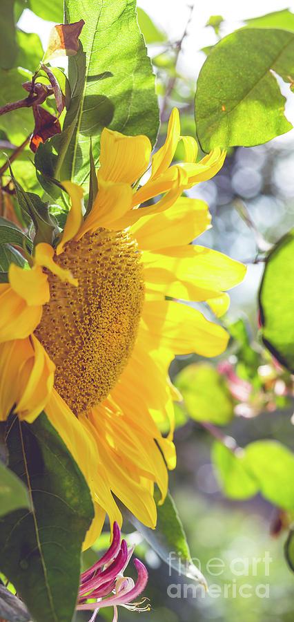 Sunflower Framed Photograph