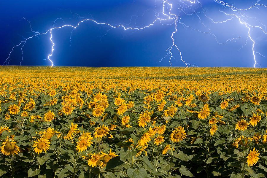 Sunflower Lightning Field Photograph