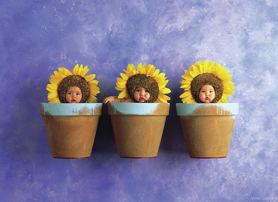 Sunflower Photograph - Sunflower Pots by Anne Geddes
