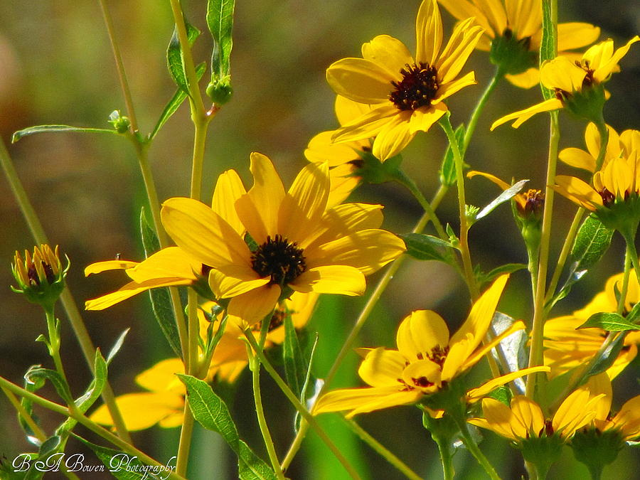 Sunflowers Photograph - Sunflowers Along The Trail by Barbara Bowen