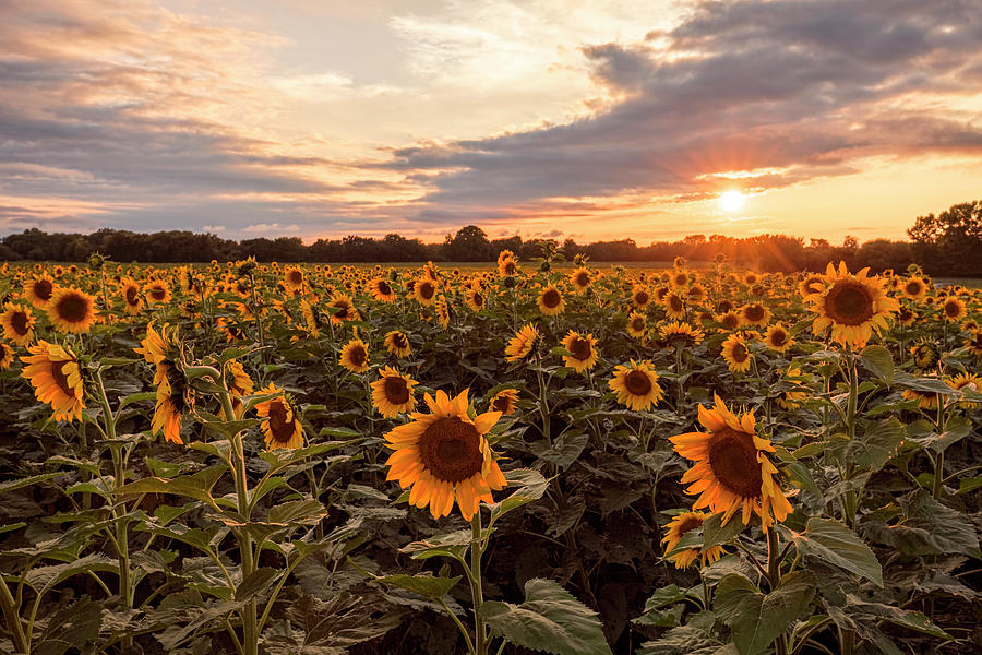 Sunflowers At Sunset Photograph