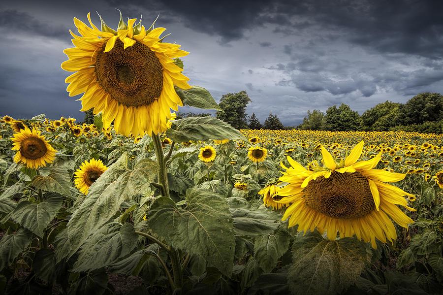 sunflower field picture blooming - photo #10