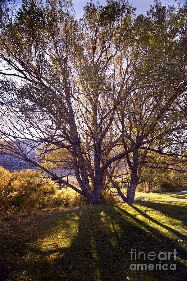 Sunny Mono Tree Photograph