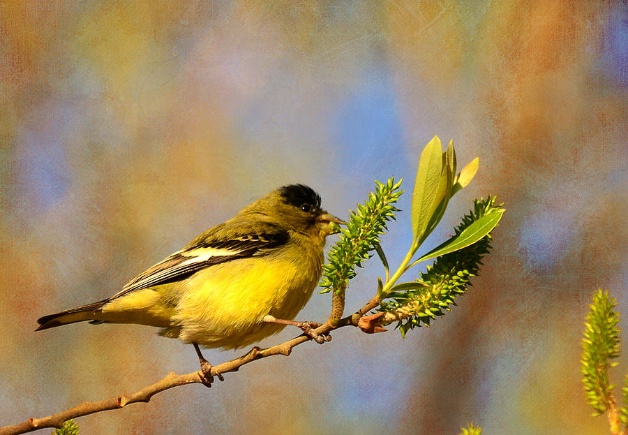 Goldfinch Photograph - Sunny Side Down by Fraida Gutovich
