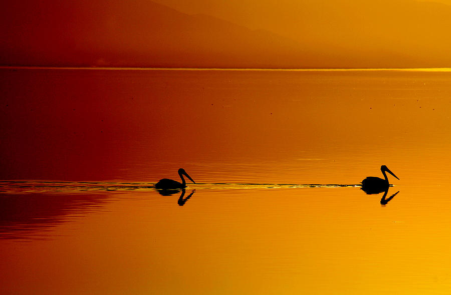 Pelicans Photograph - Sunset Cruising by Laurie Search