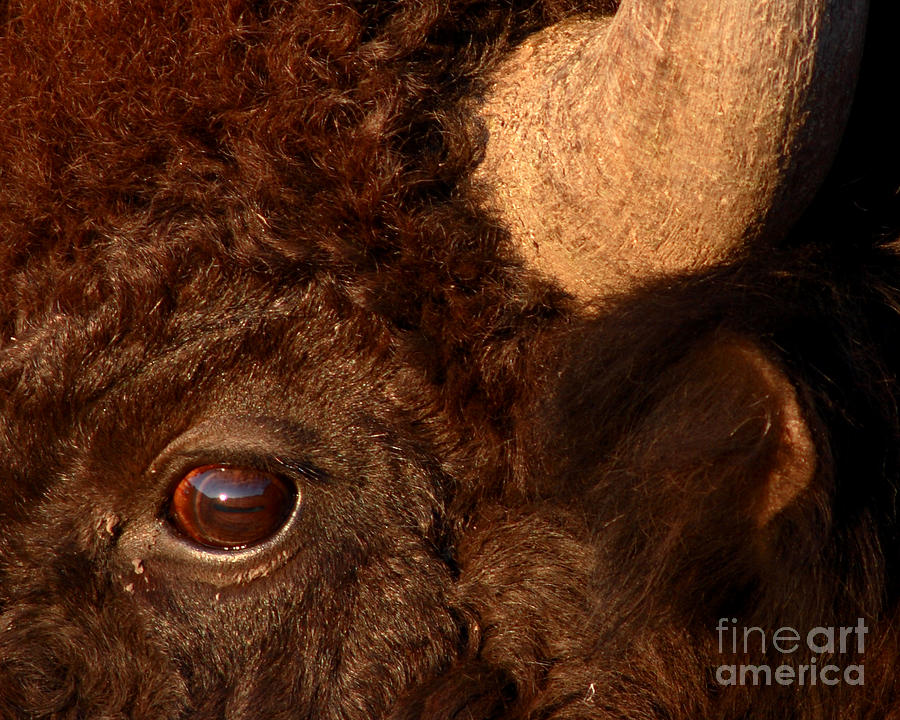 Sunset Reflections In The Eye Of A Buffalo Photograph by Max Allen