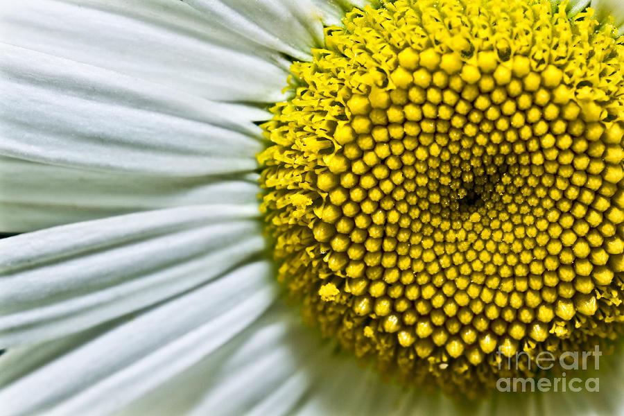 bellis Perennis Photograph - Sunshine Daisy by Ryan Kelly