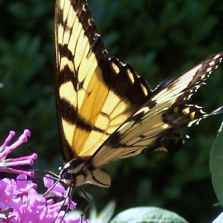 Swallowtail Butterfly Yellow Purple Flower Photograph - Swallowtail 2 by Anna Villarreal Garbis