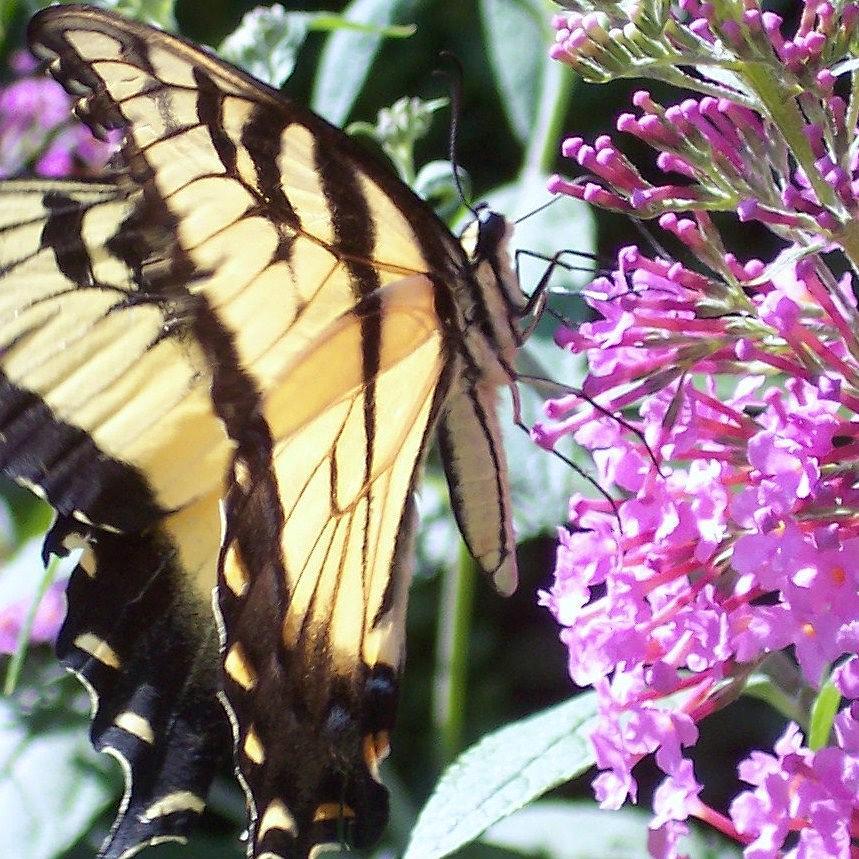 Swallowtail Butterfly Yellow Purple Flower Photograph - Swallowtail by Anna Villarreal Garbis