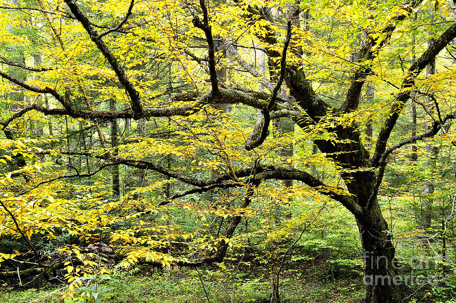 Swamp Birch In Autumn Photograph
