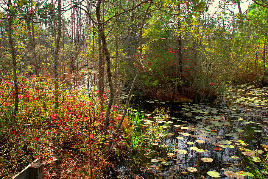 Swamp Photograph - Swamps In Sc by Susanne Van Hulst