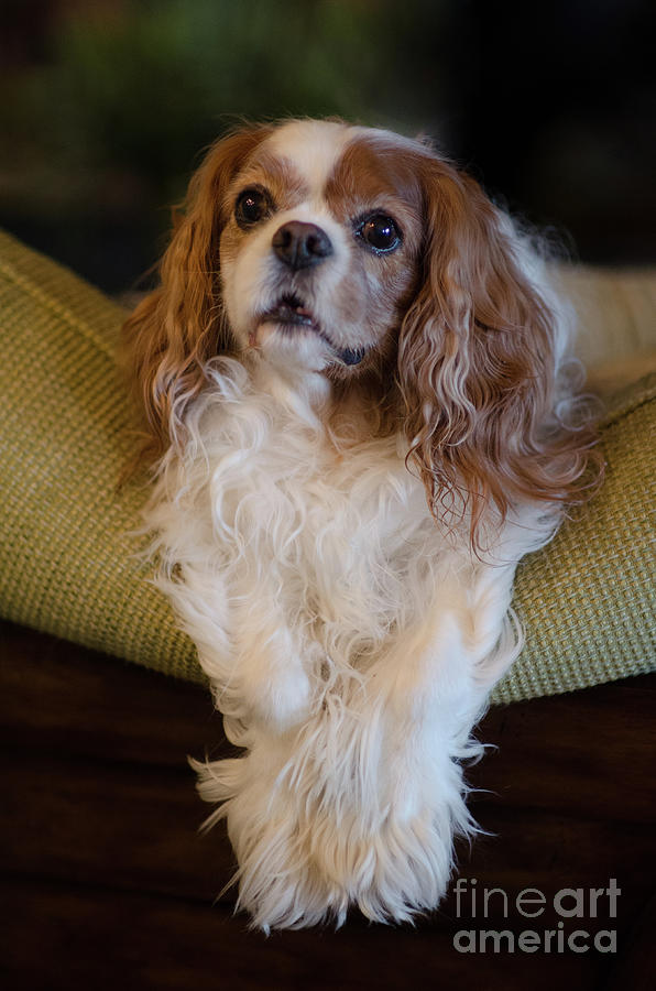 Sweet Miss Daisy Dog Portrait Perched Atop Couch Photograph