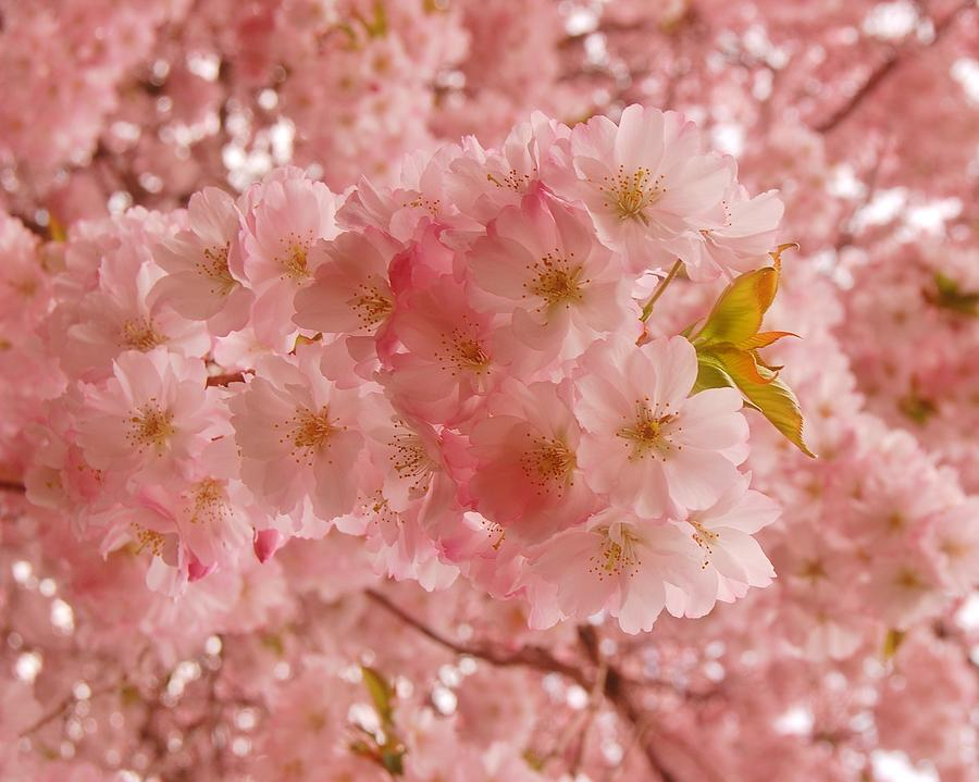 Cherry Blossoms Photograph - Sweet Pink- Holmdel Park by Angie Tirado