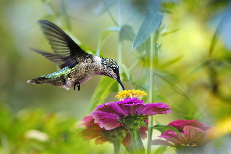 Hummingbird Photograph - Sweet Success by Christina Rollo