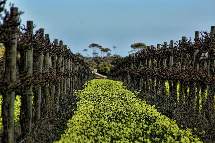 Vines Photograph - Sweet Vines by Douglas Barnard
