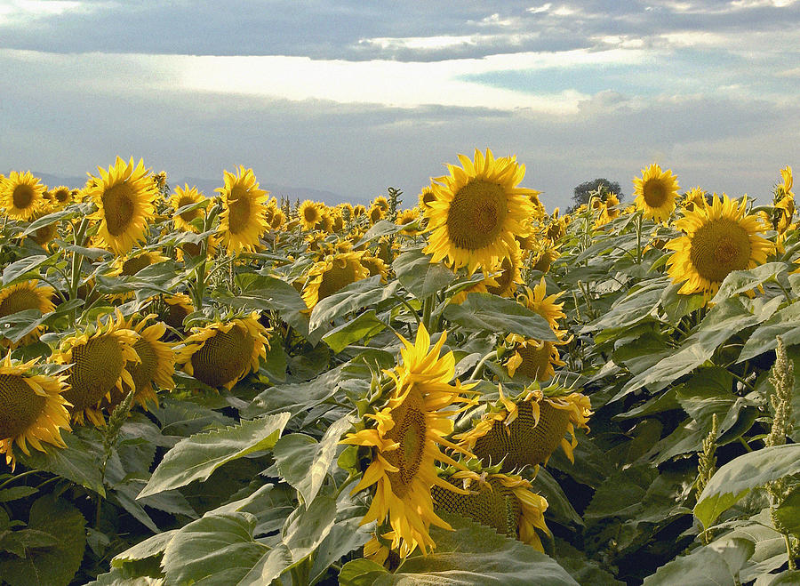 Fine Art Sunflower Photography.fine Art Gallery Photography. Sunflower Greeting Cards. Field Of Sunflowers. Sunflower Photography. Sunflower Picture. Fine Art Wall Photography. Summer Sunflowers. Nature. Flowers. Planting. Sky. Gardening Flowers. Photograph - Taking In The Sun by James Steele