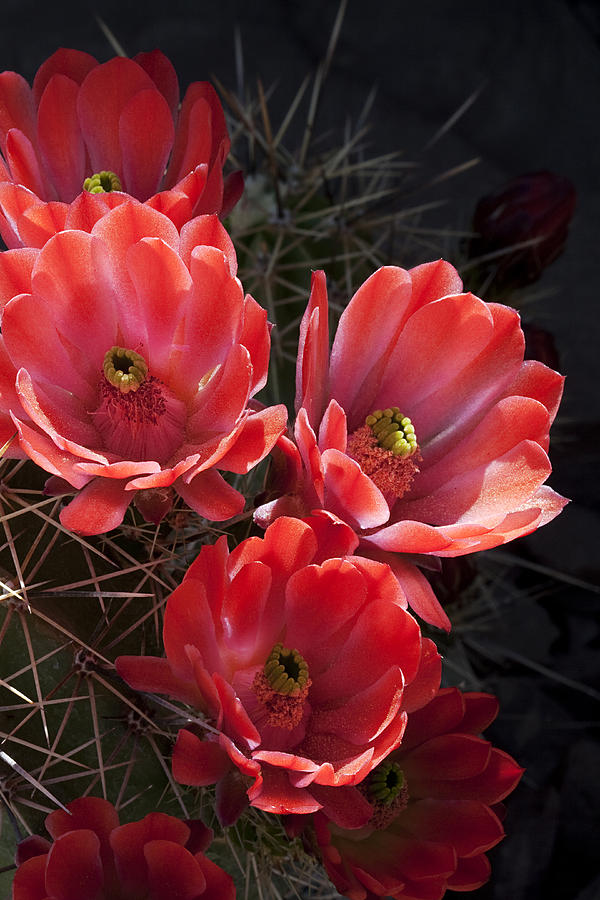 Blossoms Photograph - Tangerine Cactus Flower by Phyllis Denton